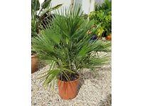 Large chamerops humilis fan palm