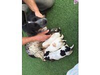 Cocker spaniel puppies £550