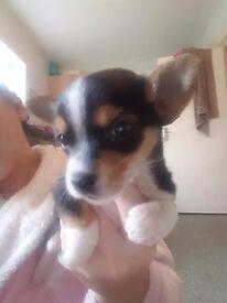 Iv got 7 cute littlw chorkie puppies for sale 4 girls 3 boys