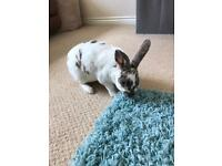 Mini Velvet Rex rabbit