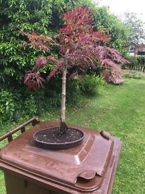 Bonsai tree (Japanese maple)