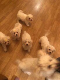 Bichon Frise Puppies Ready To Go