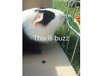 Beautiful guinea pigs