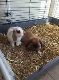 Mini lop rabbits pair boy and girl