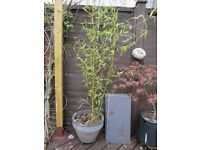 6FT+ BAMBOO WITH POT AND STAND