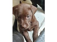 5 LABRADOR PUPPIES FOR SALE for sale  Wigan, Manchester
