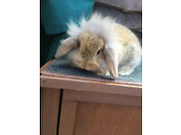 BABBY RABBITS FOR SALE 20 WEEKS CAN HANDLED