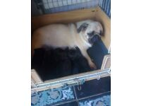 pug pups 3 boys / 1 girl deposit secures