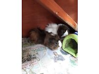 Guinea pigs, hutch and cage etc