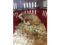 2 male baby brother guinea pigs