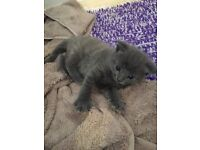 Beautiful Light Grey kitten with Bright blue eyes & Light white swirls through coat for sale!