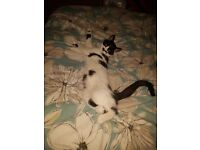 Black and white 1 year old male cat needs rehoming