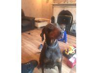 4 big chuncky beautiful KC reg Doberman pups