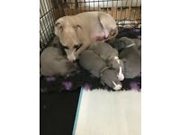 Three quarter Italian Greyhound pups