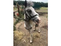 Blue & White pinto gelding for sale