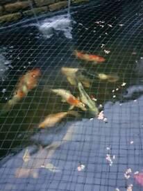 8 Japanese koi carp and one large goldfish
