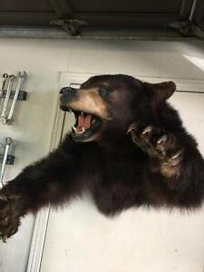 Brown Bear Taxidermy Mount