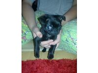 stunning black kc reg pug puppy girl ready 1 week ....