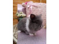 Fluffy cute rabbit, looking for a loving new home (lion head)