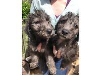 Bedlington Terrier Dog Puppies
