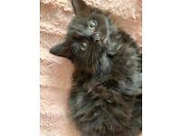3 fluffy black kittens for sale!