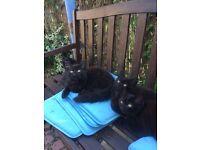 4 British short hair kittens