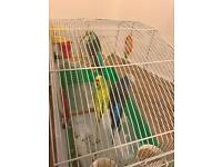 3 budgies for sale,