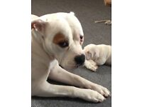 American bulldog bitch 6 week old