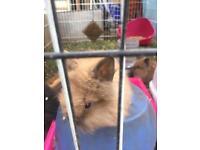 Lion head rabbit for sale