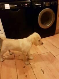 Labradoodle puppy boy