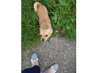 Pug cross Chihuahua
