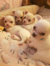 KC Long Haired Chihuahua Puppies