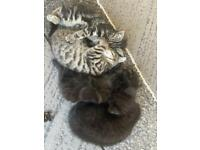 10 weeks kittens for sale