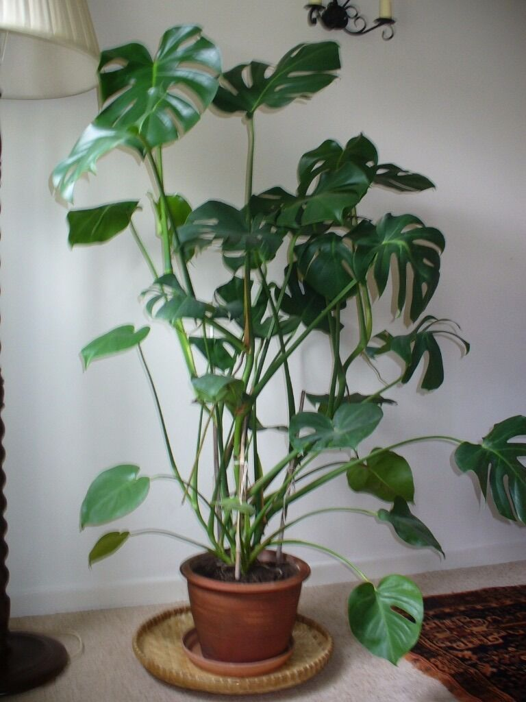 House plant large monstera deliciosa swiss cheese plant Large house plants