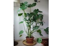 House Plant , Large Monstera Deliciosa (Swiss Cheese Plant) 1.4 m
