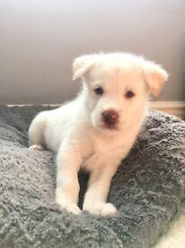Malamute cross Husky Puppies