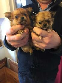 1 boy 1 girl chihuahua pippies