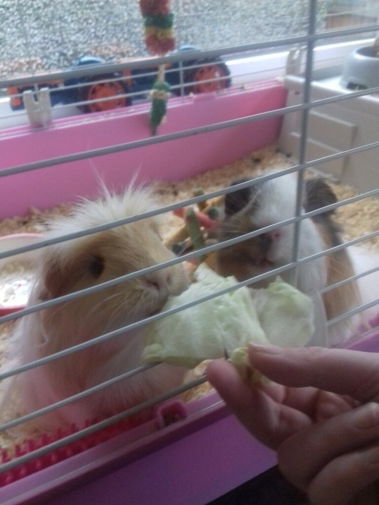2 beautiful long haires guinea pigs