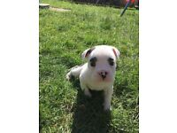 Stunning Healthy Litter of Victorian Bulldogs 1 Handsome Black and White Boy Available to See