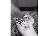 leopard gecko with viv and accessories