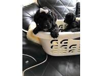 Cocker poo puppies