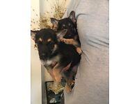 german shepherd puppies boys and girl avaliable