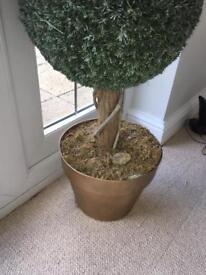 Indoor boxus tree.