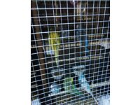 budgies male and females