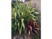 Two large very healthy phormiums for sale potted