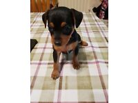 mini pinscher puppy boy