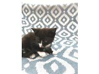 Little Tabby kitten, 8 weeks