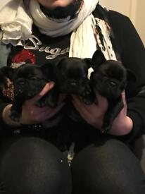 OUTSTANDING QUALITY FRENCH BULLDOG PUPS