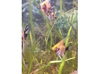 Young angel fish