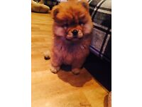 Beautiful Red female chow chow 11 weeks for sale